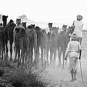 Herd Of Camels Art Print
