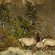 Herd Of Cow Elk   #7672 Art Print