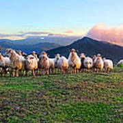 Herd Of Sheep In The Sunset Art Print