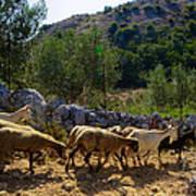Herd Of Sheep In Tuscany Art Print