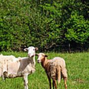 Here Is Looking At Ewe Art Print