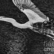 Heron On The Move Up Close Art Print