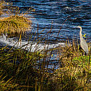 Heron Watchful Eye Art Print