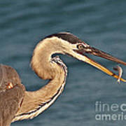 Heron With Catch Art Print