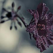 Hibiscus Acetosella Art Print