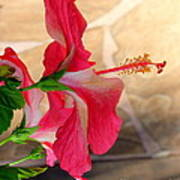 Hibiscus Along The Walk Way Art Print