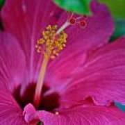 Hibiscus Closeup  Art Print