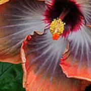 Hibiscus Key Largo Art Print
