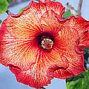 Hibiscus - Mahogany Star Flower Art Print