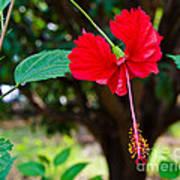 Hibiscus Rosa-sinensis / China Rose Flower Art Print