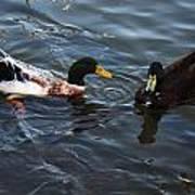 Hibred Ducks Swimming In Beech Fork Lake Art Print