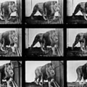 High-speed Sequence Of A Walking Lion By Muybridge Art Print