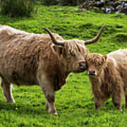 Highland Cattle And Calf Art Print