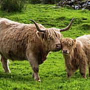 Highland Cattle And Calf Art Print