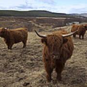 Highland Cattle Gang Art Print
