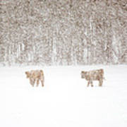Highland Cattle In The Snow Art Print