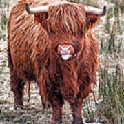 Highland Coo With Tongue Out Art Print by John Farnan