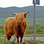 Highland Cow Art Print by David Davies