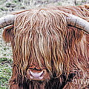 Highlands Coo Art Print