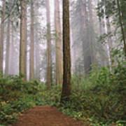 Hiking Through Californias Redwoods Art Print
