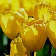 Hill Of Golden Tulips Art Print