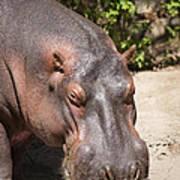 Hippo Hair 1 Art Print