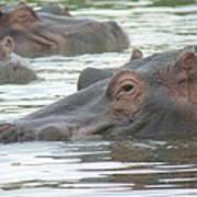 Hippopotamus In Kenya Art Print