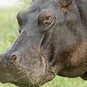Hippopotamus Okavango Delta Botswana Art Print
