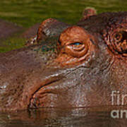 Hippopotamus With Its Head Just Above Water Art Print