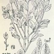 Historical Art Of Coca Plant Art Print