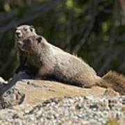 Hoary Marmots Art Print