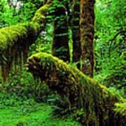 Hoh Rainforest Art Print