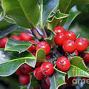 Holly Berries 2 Art Print