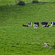 Holsteins Art Print