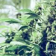 Home Grown Cannabis Plants. Art Print