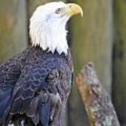 Homosassa Springs Bald Eagle Art Print