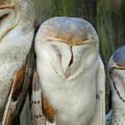 Homosassa Springs Snowy Owls 1 Art Print