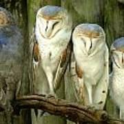 Homosassa Springs Snowy Owls 2 Art Print
