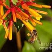 Honey Bee 7 Art Print