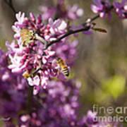 Honey Bee And Redbud Art Print