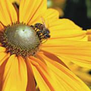 Honey Bee And Yellow Dahlia Flower Art Print