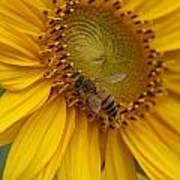 Honey Bee Close Up On Edge Of Sunfower...  # Art Print