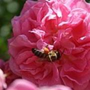 Honey Bee Collecting Pollen On A Pink Rose Art Print