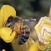 Honey Bee Feeding Art Print
