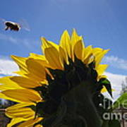 Honey Bee In Flight. Art Print