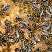 Honey Bee Queen And Colony On Honeycomb Art Print