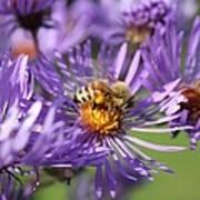 Honeybee And Aster Art Print