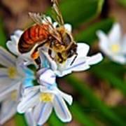 Honeybee And Squill Art Print