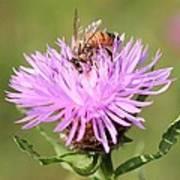 Honeybee At Work Art Print