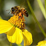 Honeybee Feasting On Nectar Of Yellow Flower Art Print